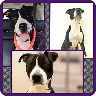 Pit Bull Terrier Mix Dog for adoption in Harrisburg, Pennsylvania - Pepper