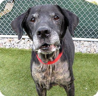 Labrador Retriever Mix Dog for adoption in Falls Church, Virginia - Commander