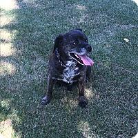 Pug/Beagle Mix Dog for adoption in Keswick, Ontario - Tucker