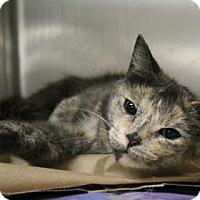 Domestic Shorthair Cat for adoption in Philadelphia, Pennsylvania - Lady (foster care)