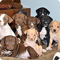 Adopt A Pet :: Callies' 11 Puppies - Woodbury, NJ