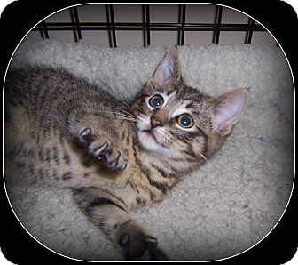 Domestic Shorthair Kitten for adoption in South Plainfield, New Jersey - Joey