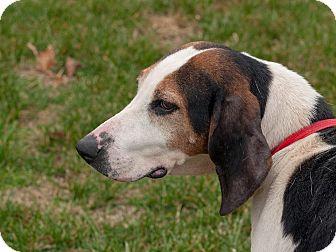 Treeing Walker Coonhound Dog for adoption in Buffalo, New York - Addie