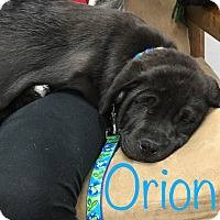 Adopt A Pet :: Orion - College Station, TX