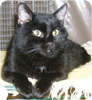 Domestic Shorthair Cat for adoption in Centerburg, Ohio - Beaker
