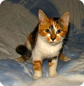 Domestic Shorthair Kitten for adoption in Oxford, New York - Eva