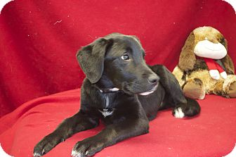 Labrador Retriever Mix Dog for adoption in New Cumberland, West Virginia - Quinn
