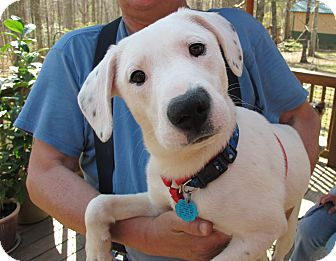 Labrador Retriever/Terrier (Unknown Type, Medium) Mix Puppy for adoption in Washington, D.C. - Domino