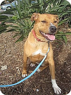 Boxer/Pit Bull Terrier Mix Dog for adoption in San Diego, California - Kaira