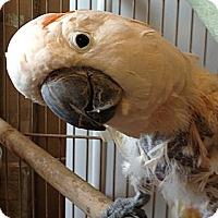 Adopt A Pet :: Calypso - Punta Gorda, FL