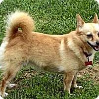 Chihuahua/Corgi Mix Dog for adoption in Homer, New York - Katherine Bigelow