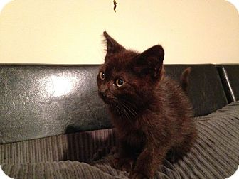 Domestic Shorthair Kitten for adoption in oxford, New Jersey - Bruce