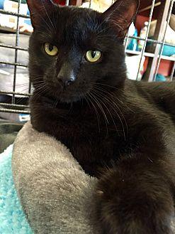 Bombay Cat for adoption in Cerritos, California - Carson