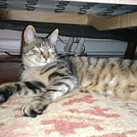 Domestic Shorthair Cat for adoption in Bronx, New York - HiRiss