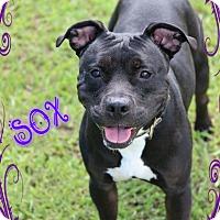 Adopt A Pet :: Sox - Tampa, FL