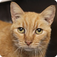 Adopt A Pet :: Hobbes - Sarasota, FL