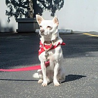Chihuahua Mix Dog for adoption in Los Angeles, California - FAITH