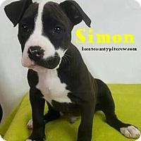 Adopt A Pet :: Simon - Sylvania, OH