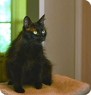 Domestic Longhair Cat for adoption in Houston, Texas - Panther