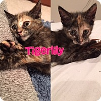 Adopt A Pet :: Tigerlily - Anaheim Hills, CA