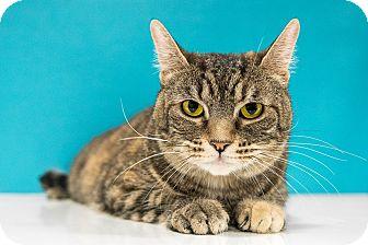 Domestic Shorthair Cat for adoption in Chandler, Arizona - Sandy