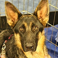 German Shepherd Dog Dog for adoption in Los Banos, California - Jessica