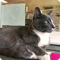Adopt A Pet :: Spock - Kingston, WA