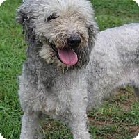 Adopt A Pet :: Cybil - Waldorf, MD