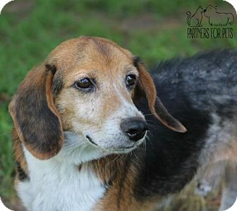Beagle Mix Dog for adoption in Troy, Illinois - Dusty