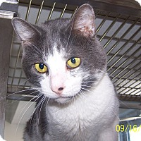 Domestic Shorthair Cat for adoption in Sterling, Colorado - Mort