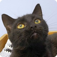 Adopt A Pet :: ChiChi - Verona, WI