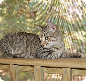 Domestic Shorthair Kitten for adoption in Great Mills, Maryland - Jack