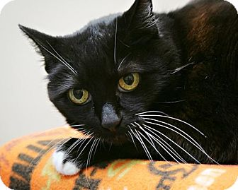Domestic Shorthair Cat for adoption in Bellingham, Washington - Stella