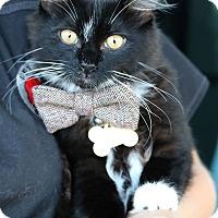 Domestic Longhair Kitten for adoption in South El Monte, California - Stripe