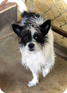 Rat Terrier Mix Dog for adoption in Waco, Texas - Josie