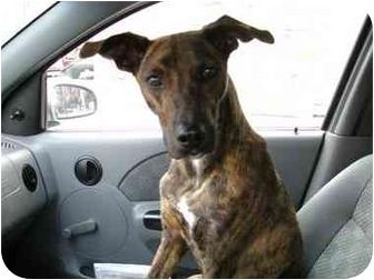 Greyhound and Lab Mix Dogs   Labrador Retriever/Greyhound Mix Dog ...