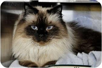 Himalayan Cat for adoption in Chesapeake, Virginia - Rosa Bella