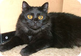 Maine Coon Cat for adoption in Chattanooga, Tennessee - Golden Eyes