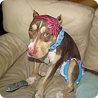 Adopt A Pet :: Callie - Chattanooga, TN