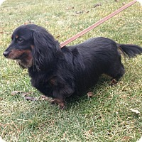 Adopt A Pet :: Lily - Downers Grove, IL