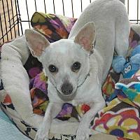Chihuahua/Chihuahua Mix Dog for adoption in Santa Clarita, California - EZZY