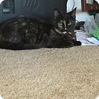 Domestic Shorthair Cat for adoption in Goldsboro, North Carolina - Penelope