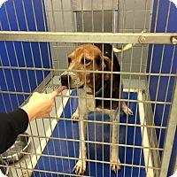 Adopt A Pet :: Sugar - cicero, NY