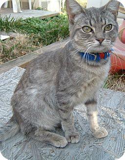 Domestic Shorthair Cat for adoption in Springdale, Arkansas - Frodo
