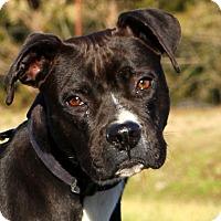 Adopt A Pet :: Lacey - Glastonbury, CT