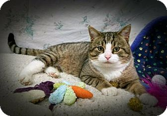 Domestic Shorthair Cat for adoption in Durand, Wisconsin - Jose' the 'tail talking' cat - Longest Resident