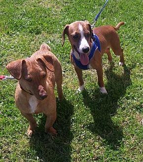 Dachshund/Terrier (Unknown Type, Medium) Mix Dog for adoption in Baton Rouge, Louisiana - Linus