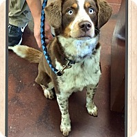 Adopt A Pet :: Paxton - Harrisonburg, VA