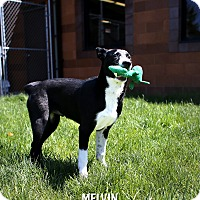 Adopt A Pet :: Melvin *Foster* - Appleton, WI