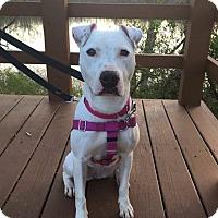 Adopt A Pet :: Sophia - Berea, OH